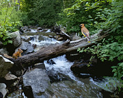 Mt Spokane Prints - Chipmunk and Cedar Waxwing Sharing a Log over a Creek on Mt Spokane Print by Ben Upham