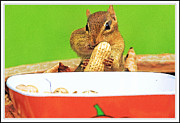 Chip Munk Framed Prints - Chipmunk Eating Peanut 1 Framed Print by Geri Scull