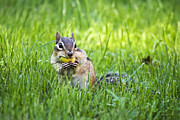 Cute Chipmunk Prints - Chipmunk Gathering Nuts Print by Christina Rollo