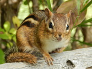 Briella Danowski - Chipmunk in Nature
