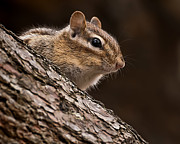 Chipmunk Photos - Chipmunk by Joe Granita