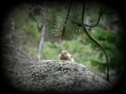 Frizzell Photos - Chipmunk by Michelle Frizzell-Thompson