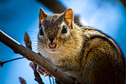 Animal Prints - Chipmunk on a branch Print by Bob Orsillo