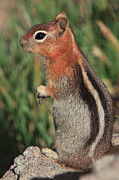 Fur Stripes Prints - Chipmunk on Alert  Print by Karma Boyer