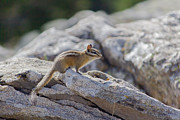 Rick Colby - Chipmunk on Mt. Spokane
