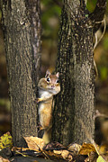 Friendly Digital Art Metal Prints - Chipmunk Peek A Boo Metal Print by Christina Rollo