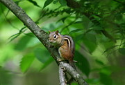Chipmunk Art Framed Prints - Chipmunk Portrait Framed Print by Neal  Eslinger