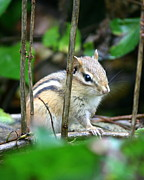 Chipmunk Photograph Posters - Chipmunk Rest  Poster by Neal  Eslinger