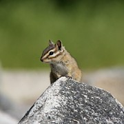 Chipmunk Photos - Chipmunk Rock by Tania Morris
