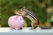 Chipmunk Photograph Posters - Chipmunk Saving Peanut for a Rainy Day Poster by Peggy Collins