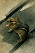 Snack Time Prints - Chipmunk Snack Time Print by Birgit Tyrrell
