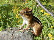 Briella Danowski - Chipmunk Soaking Up the...