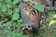Scoot Framed Prints - Chipmunk Framed Print by Theresa Meegan