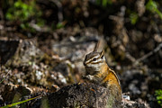 Maik Tondeur - Chipmunk Thinking