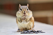 Chipmunk Photograph Posters - Chipmunk with Full Cheeks Poster by Peggy Collins