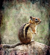 Chipmunk Digital Art - Chipper by Barbara Chichester