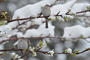 Chipping Sparrow Posters - Chipping a pair in snowy and budded tree Poster by Rae Ann Garrett