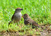 Chipping Sparrow Prints - Chipping Sparrow And Chick Print by Kathy Baccari
