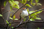Sparrow Metal Prints - Chipping Sparrow Metal Print by Christina Rollo
