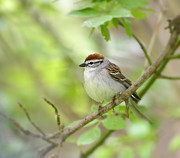Claudio Bacinello - Chipping Sparrow