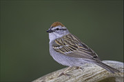 Chipping Sparrow Posters - Chipping Sparrow Poster by Michael Greiner