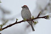 Chipping Sparrow Prints - Chipping Sparrow spring Storm and a branch  Print by Rae Ann Garrett