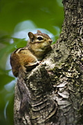 Chipmunks Framed Prints - Chippy On A Limb Framed Print by Christina Rollo