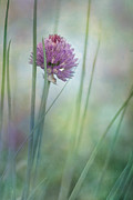 Close-ups Metal Prints - Chive garden Metal Print by Priska Wettstein