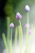 Purple Flowers Photo Prints - Chives Print by Rebecca Cozart