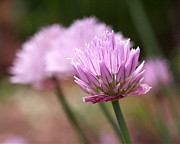 Flower Flowers Chives Garden Herbs Herb Garden Prints - Chives Print by Rona Black