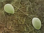 Chlamydomonas Sp. Algae, Sem Print by Power And Syred