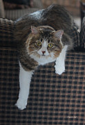 Tabby Cat Photos - Chloes Glamour Shot by Suzanne Gaff