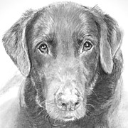Closeup Drawings Prints - Chocolate Lab Sketched in Charcoal Print by Kate Sumners