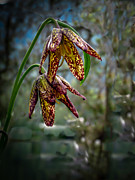 Chocolate Lily Print by Robert Bales
