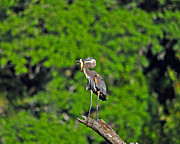 Great Heron Posters - Choice Catch Poster by Al Powell Photography USA
