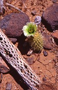 Cactus Skeleton Prints - Cholla Bloom on Ground Print by T C Brown