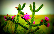 Gerhardt Isringhaus - Cholla Cactus in Bloom