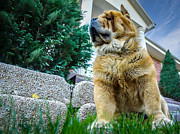 Watchdog Prints - Chow Chow - Watchdog Print by Tom Klausz