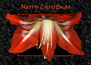 Carolyn Marshall Posters - Christmas Amaryllis Poster by Carolyn Marshall