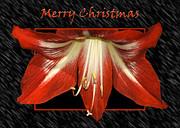 Christmas Amaryllis Print by Carolyn Marshall