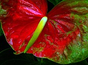 Dorlea Ho - Christmas Anthurium