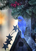 Nava Jo Thompson Posters - Christmas Bluebird Poster by Nava Jo Thompson