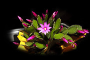 Cecil Fuselier - Christmas Cactus