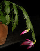 Christmas Cactus Art - Christmas Cactus by David and Carol Kelly