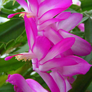 Christmas Cactus Flower Print by Aimee L Maher