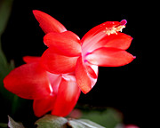 Red Art Metal Prints - Christmas Cactus Flower Metal Print by Rona Black