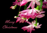 Schlumbergera Bridgesii Posters - Christmas Cactus Greeting Card Poster by Carolyn Marshall
