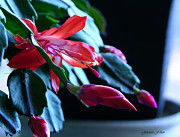 Julianne Felton Art - Christmas cactus in bloom by Julianne Felton