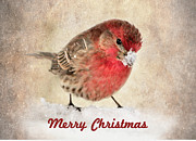 House Finch Framed Prints - Christmas Card 8 Framed Print by Betty LaRue