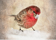 House Finch Prints - Christmas Card 9 Print by Betty LaRue
